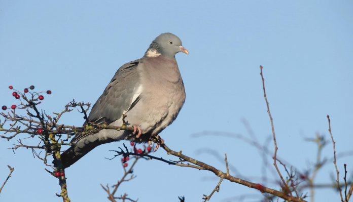 Airgun Hunter Wood Pigeons Pest Control Gun Mart